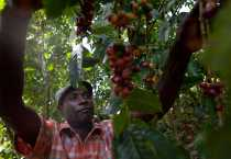 Israel Chery examina granos de café en una plantación. CRS trabaja con 3.000 agricultores para mejorar la producción, las técnicas para reducir el daño por las plagas. Se dice que los insectos causan una pérdida del 70 por ciento de los granos de café. CRS también introduce variedades mejoradas de café, apoya a los viveros, provee capacitación empresarial y conectar a los agricultores con los compradores de café y de otras organizaciones. Foto de Benjamin Depp para CRS.