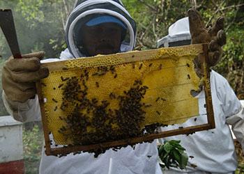 Un grupo local de ahorro en la comunidad de Las Gavetas, cerca de la ciudad de La Trinidad en Nicaragua, lleva a cabo proyectos de cultivo por medio de A4N (Agricultura para Necesidades Básicas), apoyado por la Fundación Howard G. Buffett y CRS. Los proyectos, incluyen la molienda del maíz y enjambres de abejas. En la foto - Los hombres del grupo recogen la miel para su procesamiento. El humo es utilizado para mantener a las abejas tranquilas. Asusto Lanuza, con la banda azul en la cabeza, es un técnico por parte de FIDER ( Fundación para la investigación rural y el desarrollo). Foto por Karen Kasmauski para CRS.