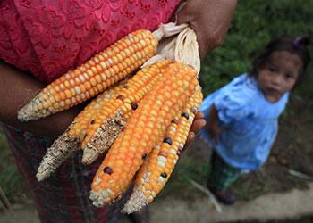 El maíz es esencial para el estilo de vida de la comunidad Xacala en el depto. de San Marcos en Guatemala. Sus fértiles tierras producen tres tipos de maíz. Con el fin de promover la nutrición y la salud de madres vulnerables y sus hijos, Catholic Relief Services a través de su socio Cáritas, ha dado la oportunidad de pastorear ganado. Foto por Óscar Leiva para CRS.
