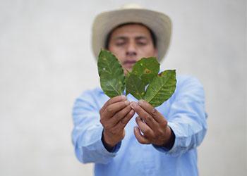 El agricultor guatemalteco, Inez Ramírez, muestra los efectos de la roya  del café. Foto de Silverlight para CRS